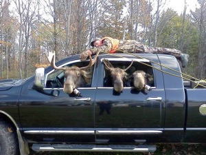 Give a moose a beer and look why happens!